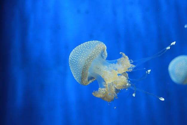 Água-viva no aquário Foto Premium