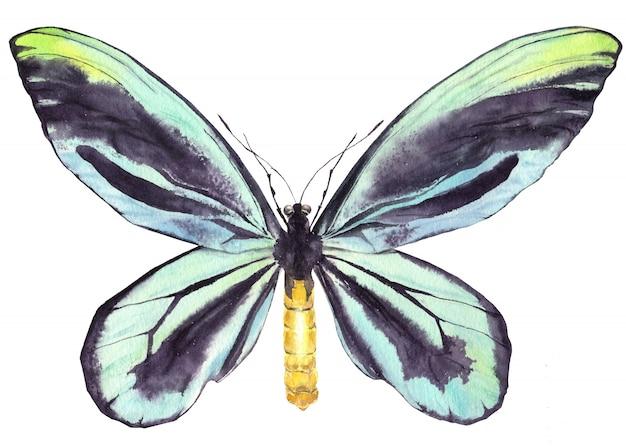 Aguarela azul do índigo da borboleta. Foto Premium