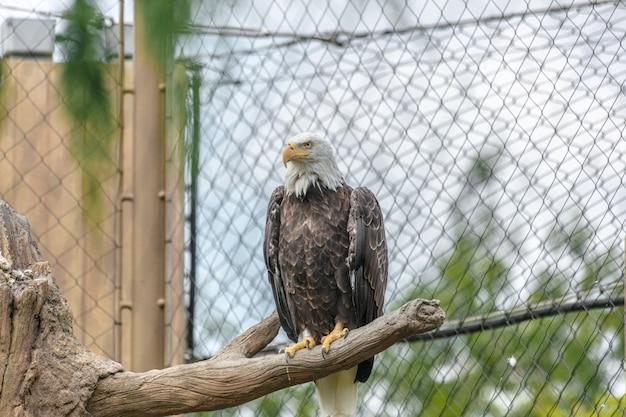 Águia careca com bico amarelo sentada em um galho de árvore cercada por cercas de arame em um zoológico Foto gratuita