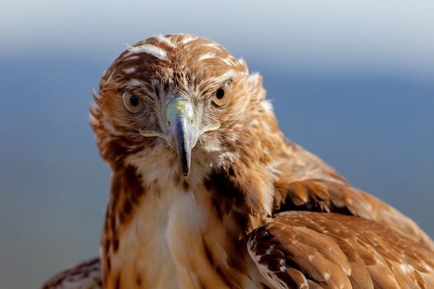 Águia de rabo vermelho (buteo jamaicensis) Foto Premium