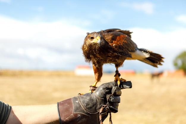 Águia empoleirada na mão do homem. Foto Premium