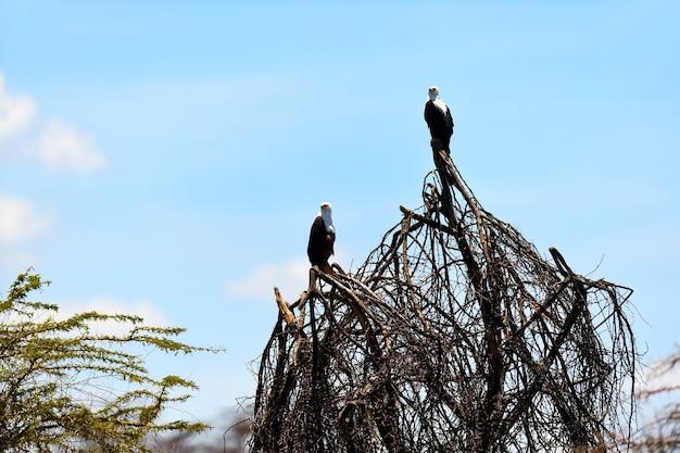 Águia-pescadora africana naivasha lake national park Foto Premium