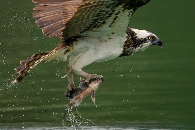Águia-pescadora ou falcão do mar caçando um peixe na água Foto gratuita