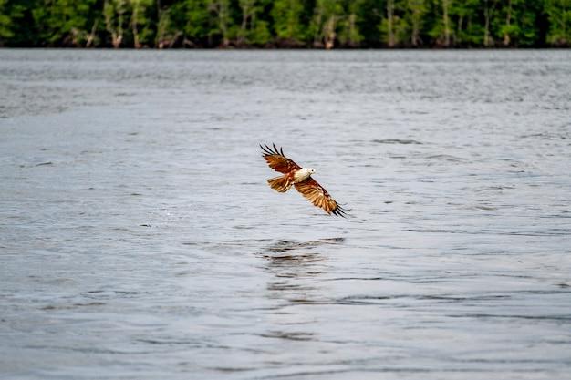Águia vermelha no mar na natureza na tailândia Foto Premium