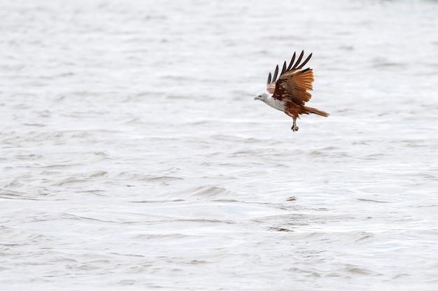 Águia vermelha voando no céu Foto Premium