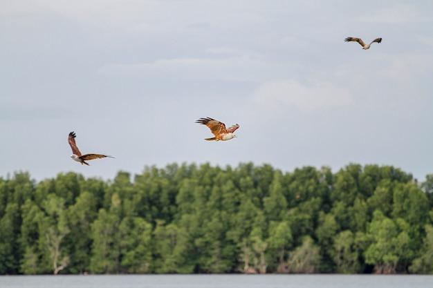 Águia vermelha voar no céu na natureza na tailândia Foto Premium
