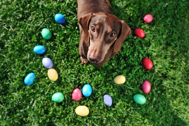 Ainda vida de páscoa com ovos coloridos e bassê Foto Premium