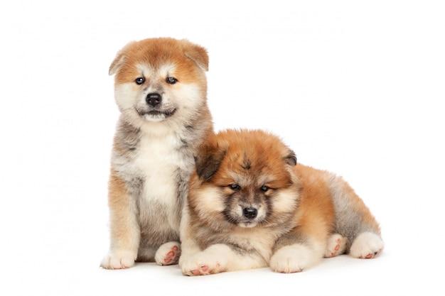 Akita inu cachorrinho Foto Premium