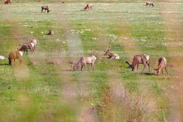 Alces no prado no parque nacional das montanhas rochosas Foto Premium