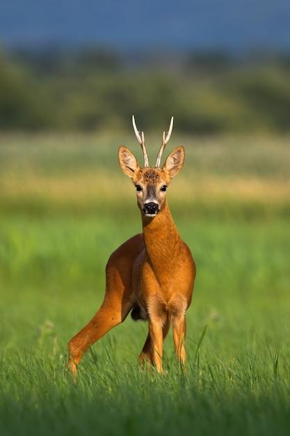 Alerta corça buck buck em pé no prado verde e olhando para a câmera no verão Foto Premium