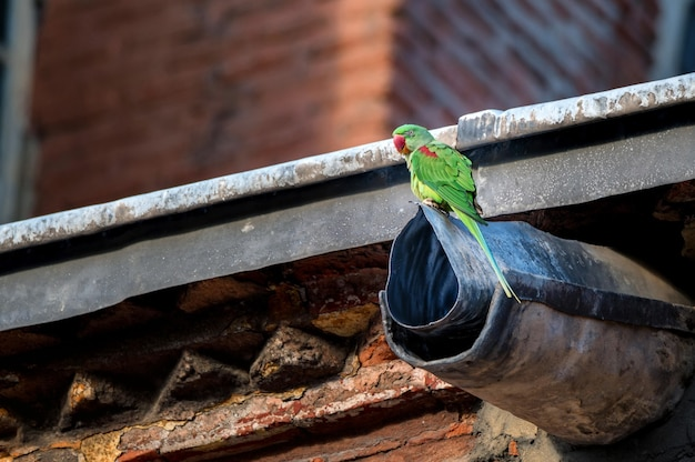 Alexandrine perkeet ou psittacula eupatria perch no escoamento da bacia hidrográfica Foto Premium