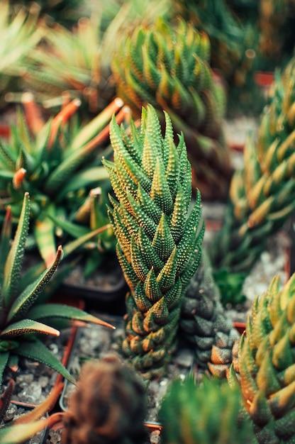 Aloe ostifolia é uma planta herbácea suculenta, espécie do gênero aloe da família asphodelaceae. Foto Premium