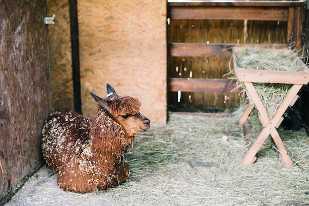 Alpaca marrom sentado no celeiro Foto gratuita