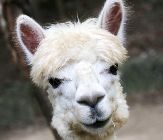 Alpaca, olho Foto Premium