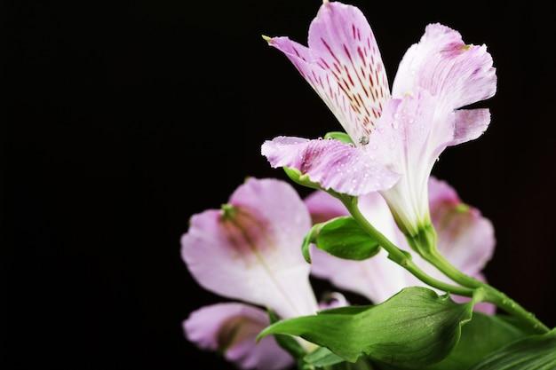 Alstroemeria flores violeta Foto Premium