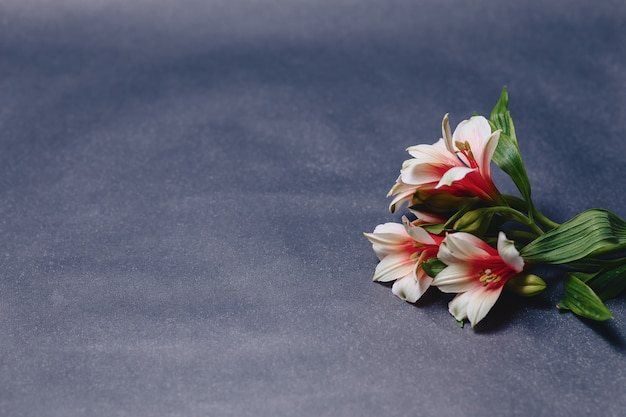 Alstroemerias em fundo cinza simples Foto Premium