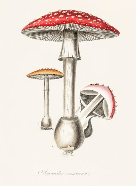 Amanita muscaria ilustração de medical botany (1836) Foto gratuita