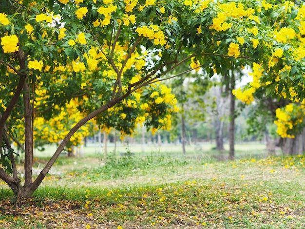 Amarelo ancião ou trumpet arbusto flores árvores Foto Premium