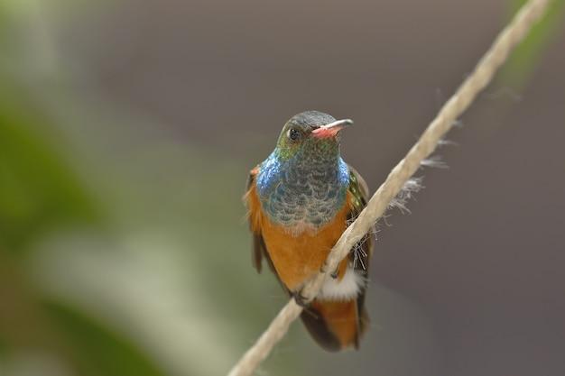 Amazilia hummingbird Foto Premium