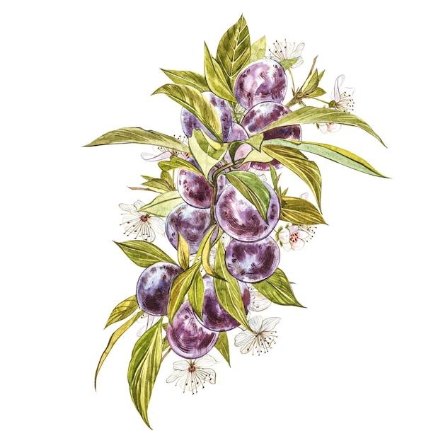 Ameixa madura e ramo com flores. aquarela de desenho de ameixa isolada. ilustração botânica em aquarela. Foto Premium