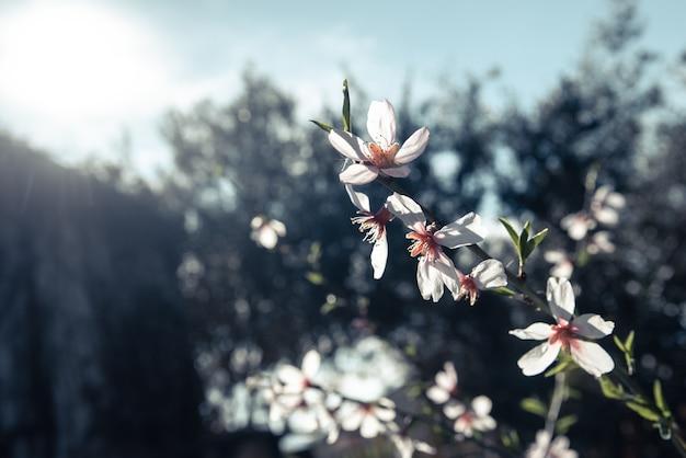 Amendoeiras florescem com a chegada da primavera, fundo suave de cores femininas. Foto Premium