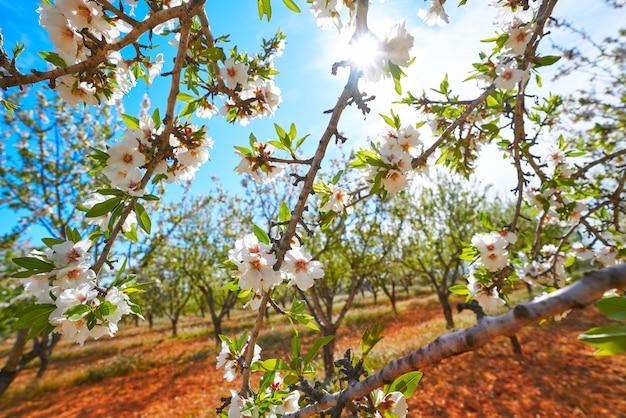 Amendoeiras florescem no mediterrâneo Foto Premium