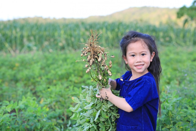 Amendoim pequeno da colheita do fazendeiro na plantação da agricultura. Foto Premium