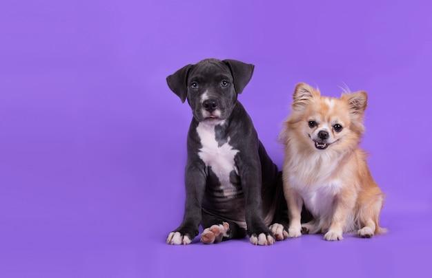 American staffordshire terrier cachorrinho em cima da mesa Foto gratuita