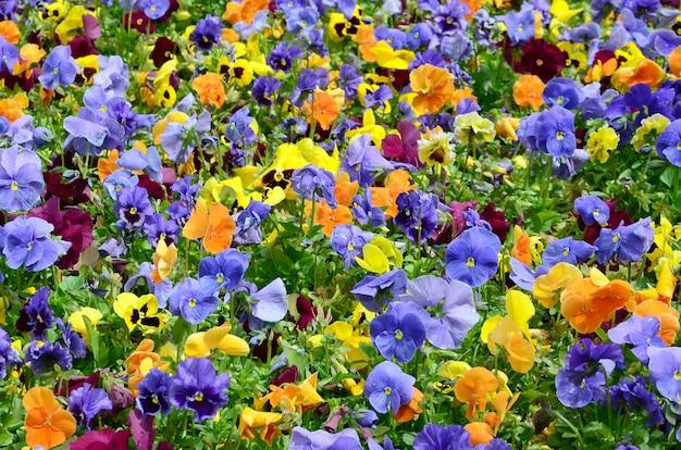 Amor-perfeito multicolorido flores ou pansies close-up Foto Premium