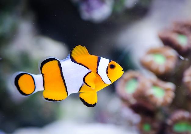 Amphiprion ocellaris em aquário marinho Foto Premium