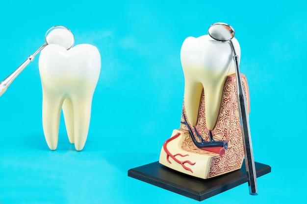 Anatomia do dente em azul Foto Premium