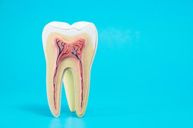 Anatomia do dente no fundo azul. Foto Premium