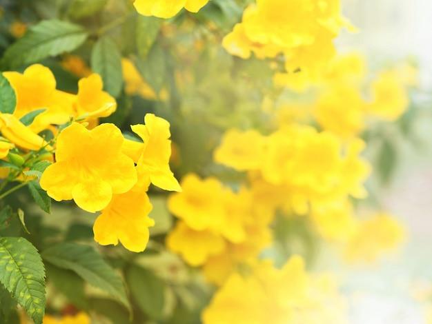 Ancião amarelo ou flores trumpetbush Foto Premium