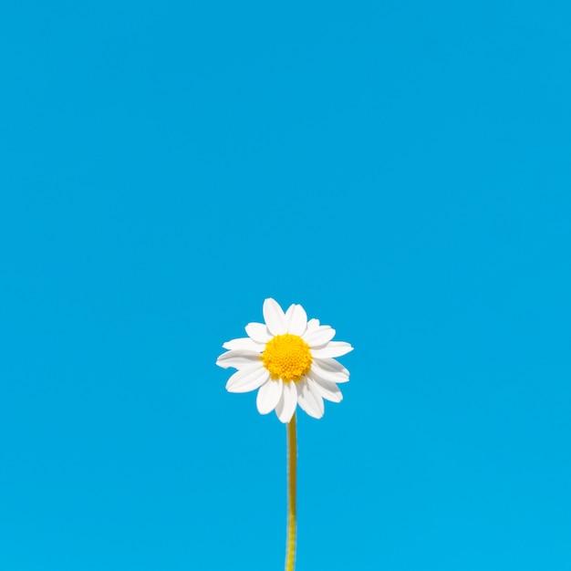 Ângulo baixo de flor de camomila com espaço de cópia Foto gratuita