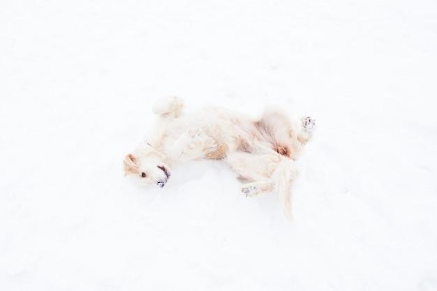 Animais de estimação bonitos - grande golden retriever se divertindo em um passeio de inverno em um parque coberto de neve Foto Premium