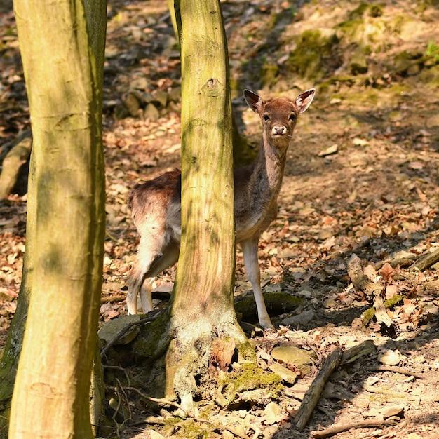 Animal na natureza. veados na floresta ao pôr do sol. Foto gratuita