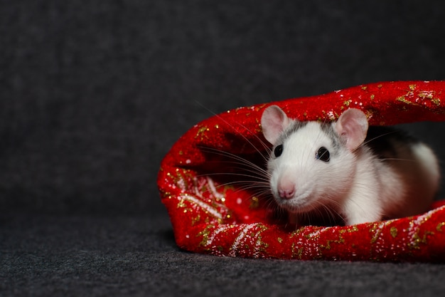 Ano novo conceito. rato doméstico bonitinho na decoração de ano novo com lugar para texto. símbolo do ano. Foto Premium