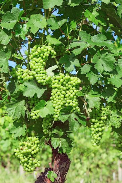 Anos de vinha, vinha, uvas varietais na região do piemonte perto de alba Foto Premium