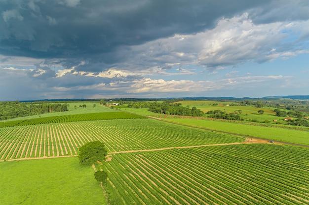 Antena de plantação de colheita de cana de açúcar. vista superior aérea de um campos de agricultura. fazenda de cana-de-açúcar. Foto Premium