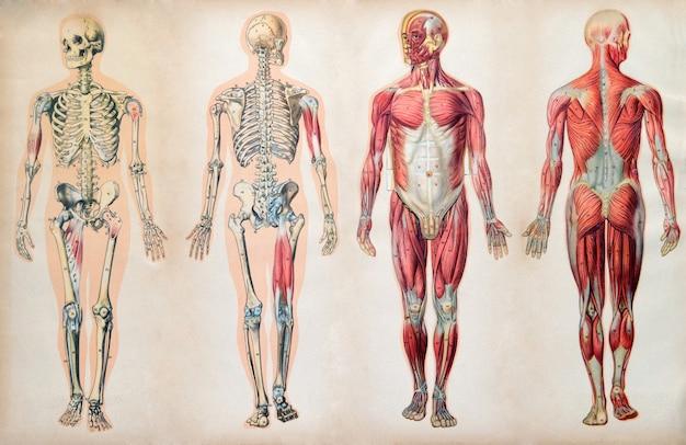 Antigos gráficos de anatomia vintage do corpo humano Foto Premium