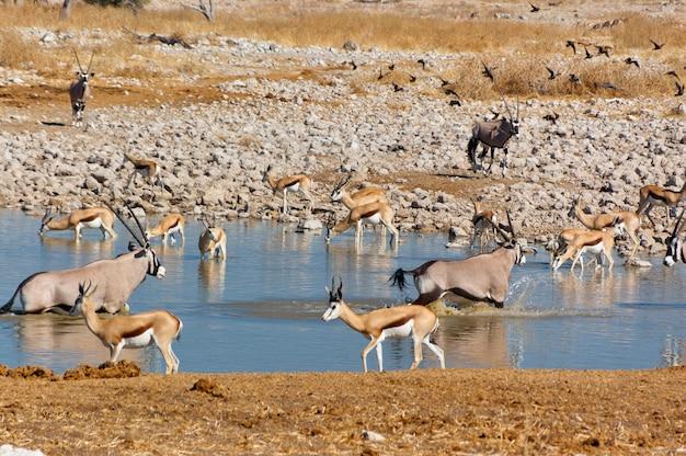 Antílopes bebendo do poço de água. reserva africana de natureza e vida selvagem, etosha, namíbia Foto Premium