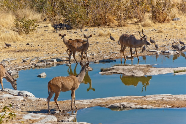 Antílopes kudu bebendo do poço de água. reserva africana de natureza e vida selvagem, etosha, namíbia Foto Premium