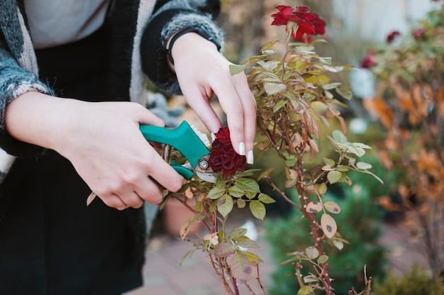 Aparar rosas Foto gratuita