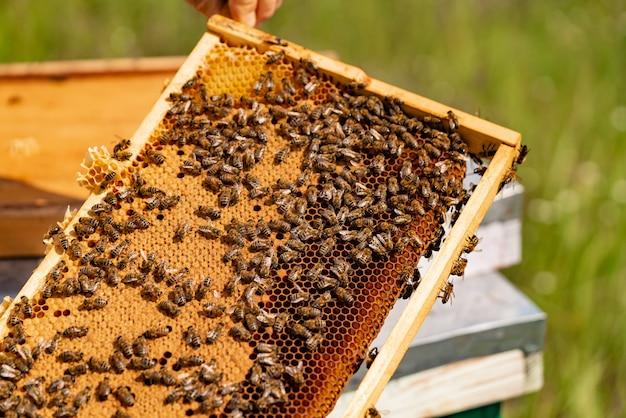 Apicultor verificando o quadro de favo de mel com abelhas no seu apiário. Foto Premium