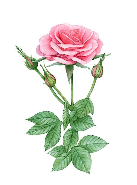 Aquarela rosa flor rosa. Foto Premium