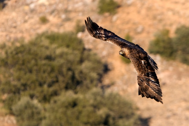 Aquila chrysaetos. águia dourada Foto Premium