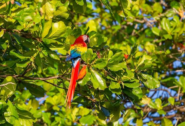 Ara arara-de-asa-verde selvagem, costa rica, américa central Foto Premium