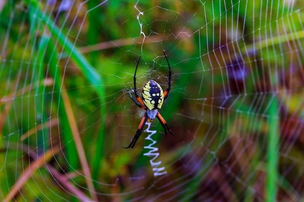 Aranha aranha-aranha araneus araneomorphae da aranha Foto Premium