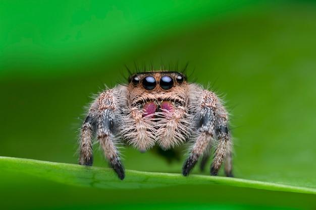 Aranha saltadora na folha verde na natureza Foto Premium