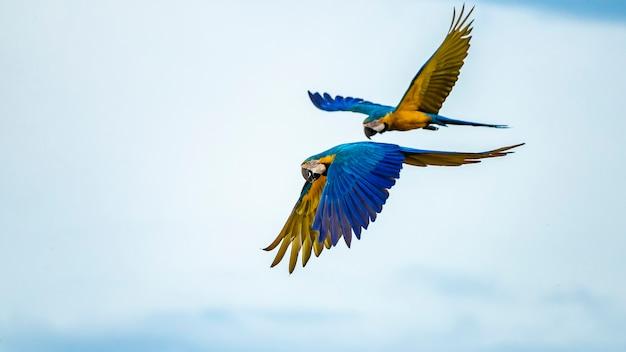 Arara-azul e amarela da espécie ara ararauna Foto Premium